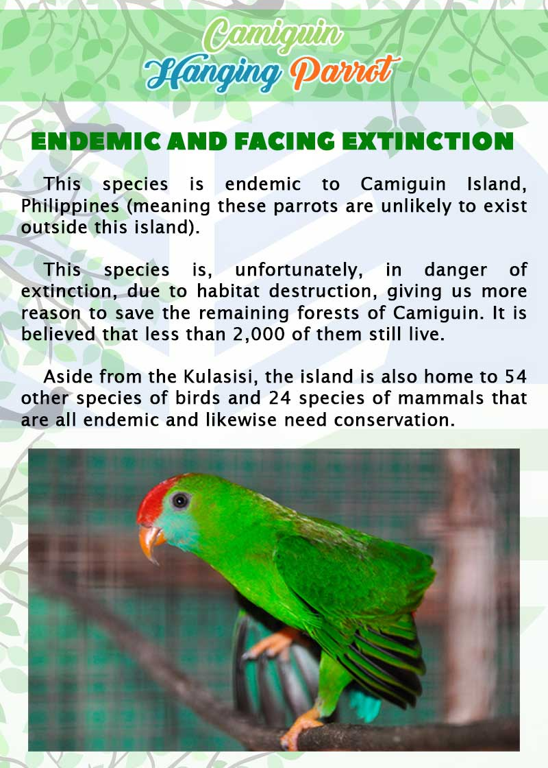 Camiguin Hanging Parrot page 3