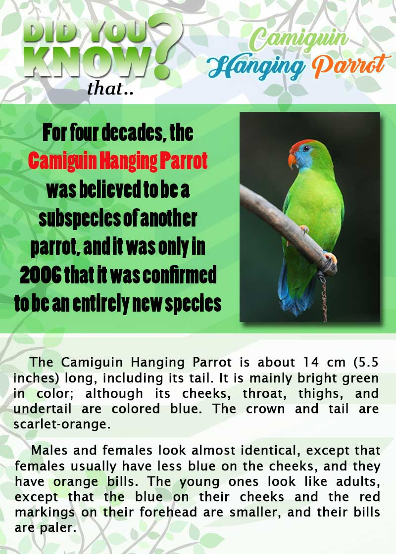 Camiguin Hanging Parrot page 1